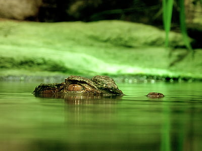 macro photography of crocodile in water graphic wallpaper