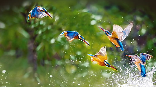 flock of Blue-eared kingfishers