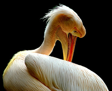 wildlife photography of white pelican