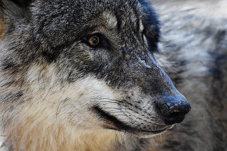 wolf portrait photo