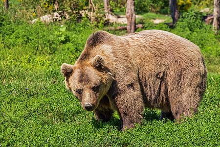 animal photograph of brown bear