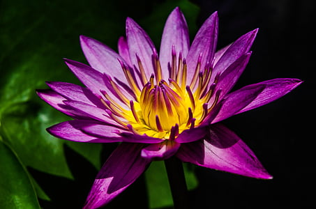purple water lily flower in closeup photography