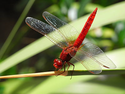 roseate dragonfly on green leaf plant