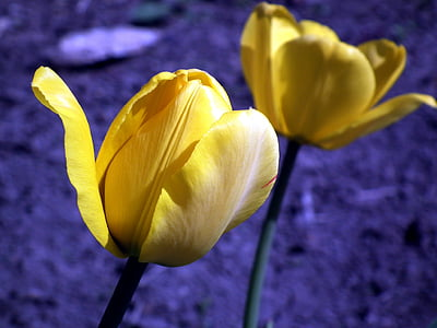 closeup photo of yellow tulip flowers