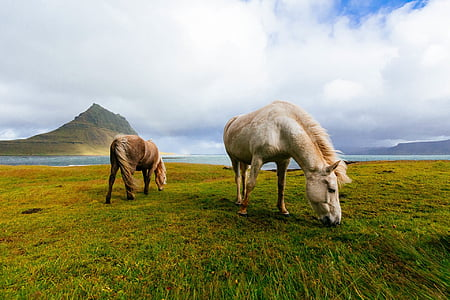 two horses eating grass on the ground