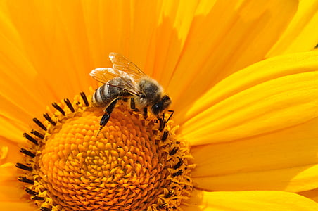 honeybee perched on yellow sunflower