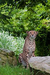cheetah seated on green grass