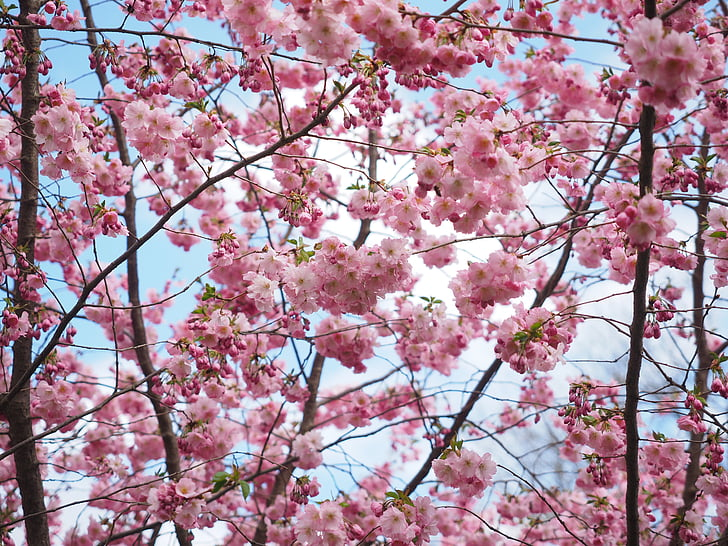 cherry blossoms under cloudy sky at daytime