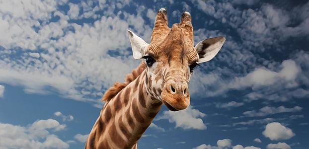 brown giraffe's head under white cloudy sky