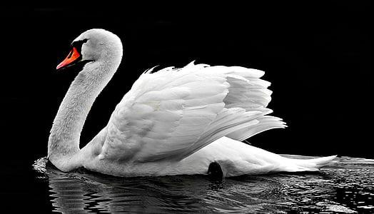 white swan on water photo