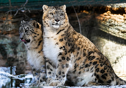 two wild cats in enclosure