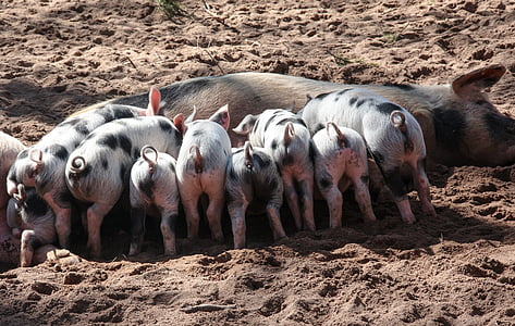 brown pig with piglets feeding