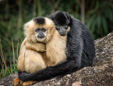 two brown and black monkies hugging