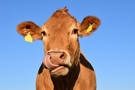 selective photo of brown cow