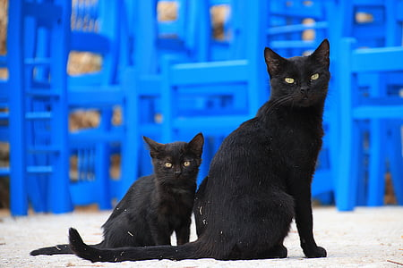 selective focus photo of two bombay cats