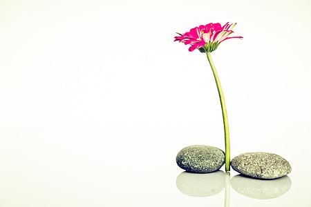 pink zinia flower