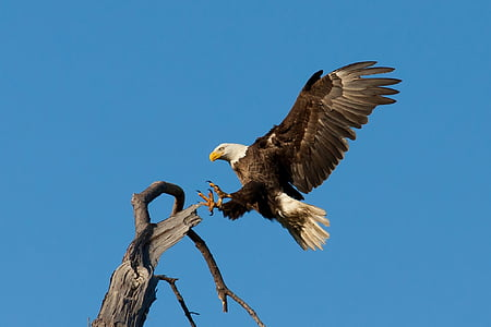 bald eagle about to perch on tree branch