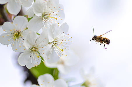bee hovering in front of white petaled flower closeup photography