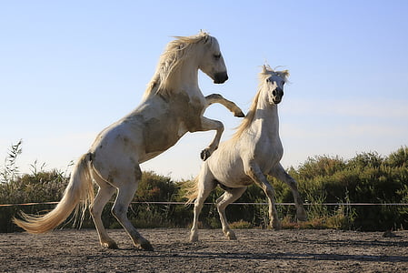 photo of two white horse galloped during daytime