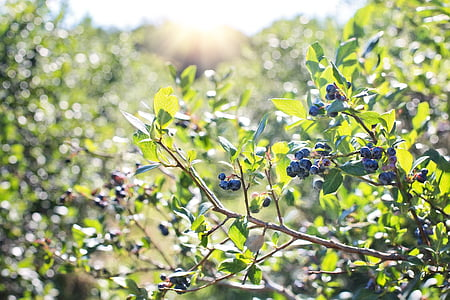 macro photography of blueberries