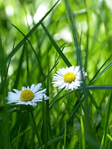 white daisies in closeup photography
