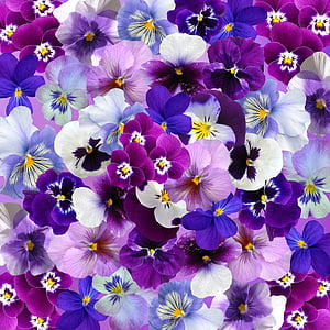 purple and white pansy flowers