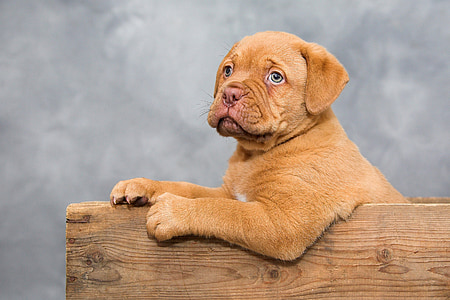 mahogany French mastiff puppy