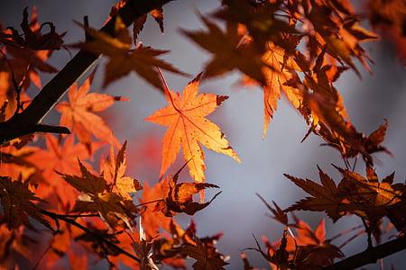 maple tree leaf lot
