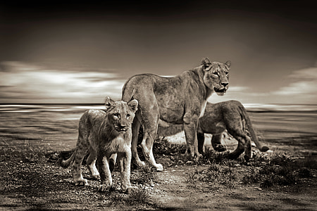 sepia photo of lioness and two cubs