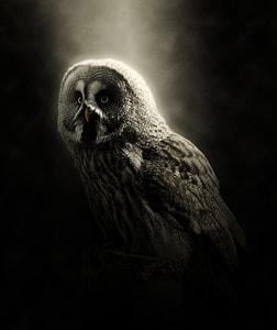 grey and black owl against black background