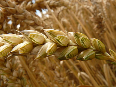 closeup photography of wheat grains