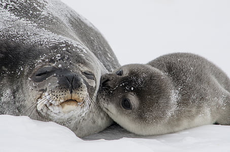 close-up photo of two sea lions on snow field