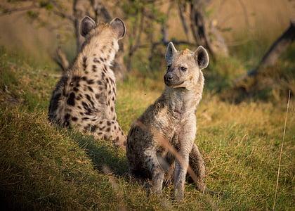 two hyenas on grass