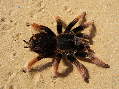 Mexican red knee tarantula in closeup photography
