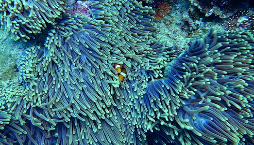 two orange clown fish hiding on coral