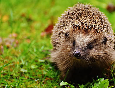 brown porcupine on top of green grass