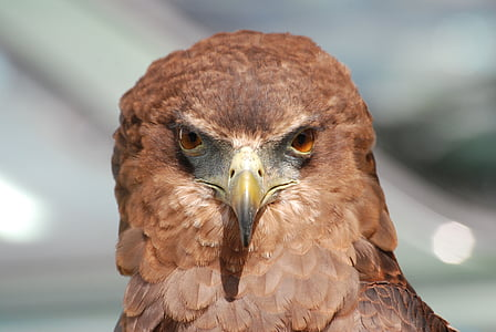 close photography of brown falcon
