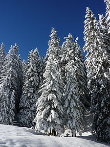 pine trees during winter photo
