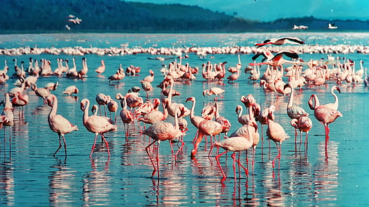 flock of pink flamingos on body of water