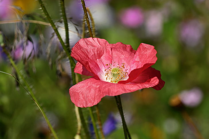 Royalty free photo selective focus photography of red poppy flower selective focus photography of red poppy flower mightylinksfo Choice Image