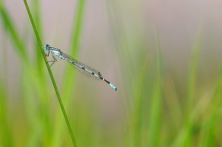 blue and black damselfly perched on green plant stem in closeup photo