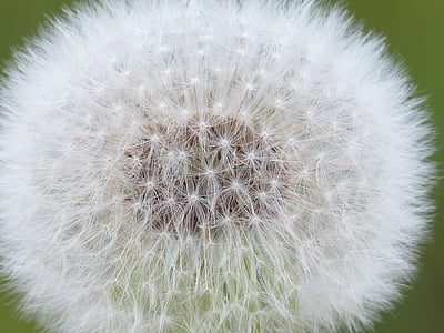 selective focus photography of white dandelion flower
