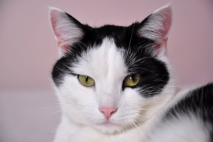 short-fur white and black cat looking straight to the camera