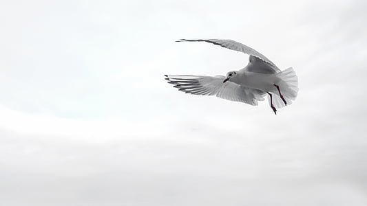 Franklin's gull flying under the clouds during daytime