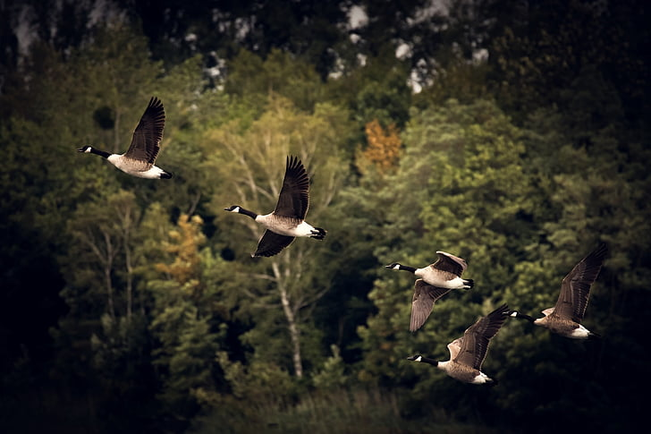 closeup photo of five black and white pigeons flying over green trees