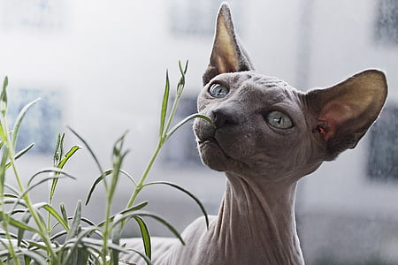 gray sphinx cat