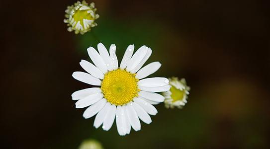 closeup photo of daisy flower