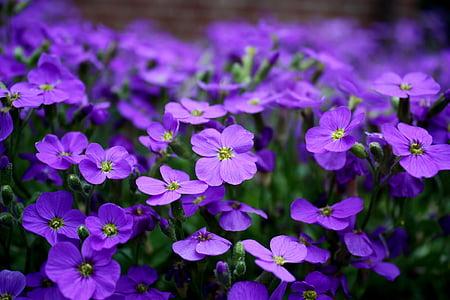 closeup photography of purple verbena flowers
