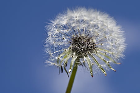 selective focus photography of white dandelion flower at daytime
