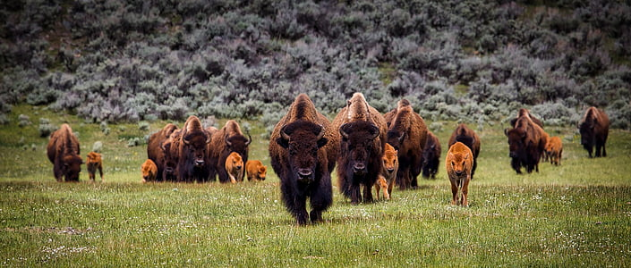 group of brown yak